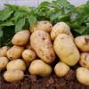 安丘优质荷兰土豆,形状好,个头大,颜色纯正