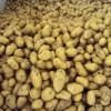 安丘土豆已经上市,个头大,署型均匀,颜色好看