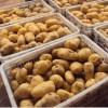 山东肥城土豆大量供应中